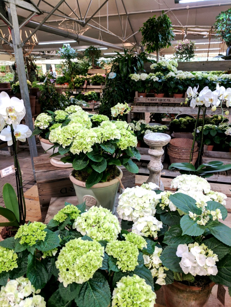 hydrangeas-house-plant